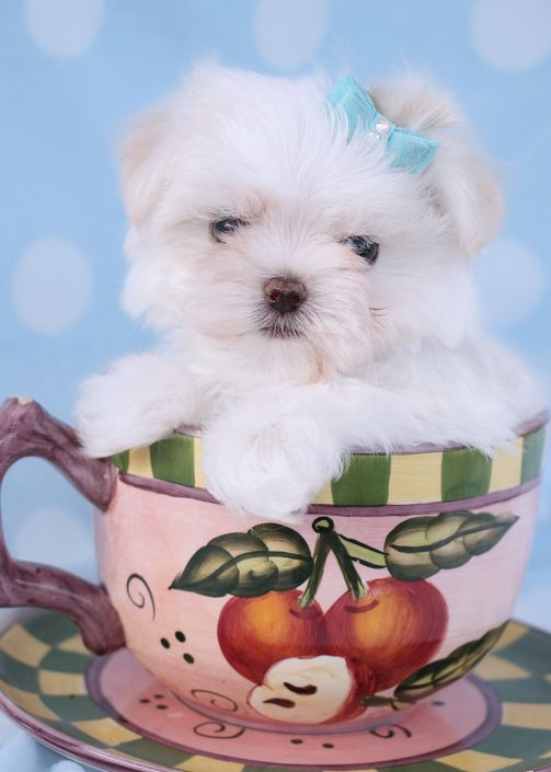 Teacup Maltese Puppy ID #380