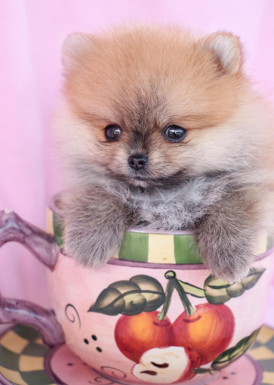 Teacup Pomeranian Puppy and Pomeranian Puppies at TeaCups ... | 1071 x 1500 jpeg 427kB