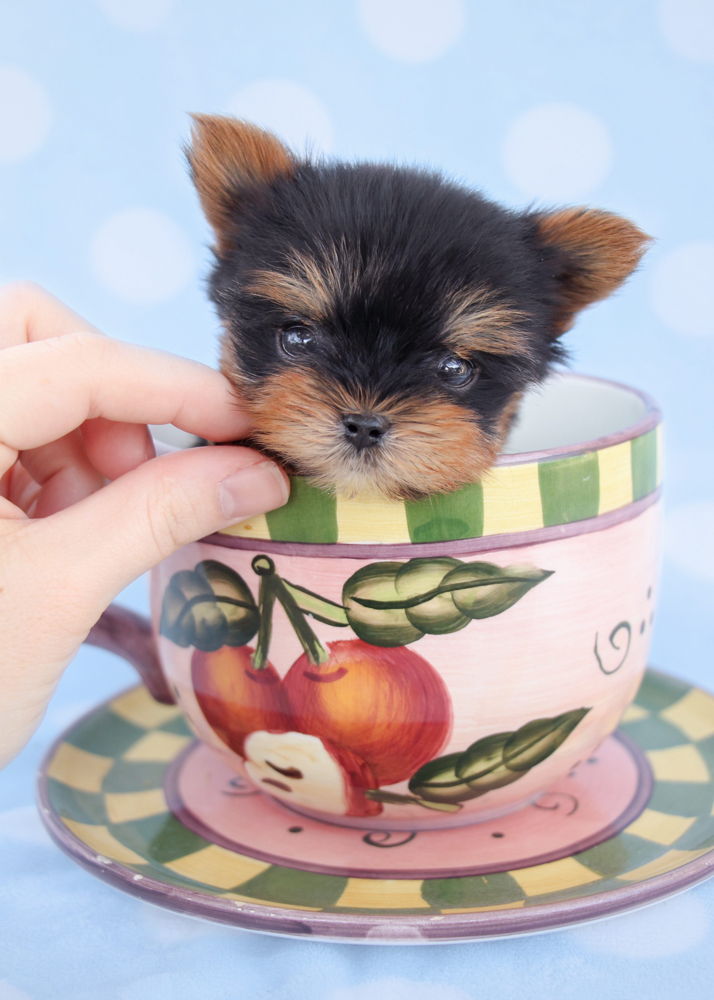 Beautiful Micro Teacup Yorkie Puppies For Sale