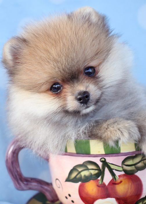 Pomeranian Puppy ID #395