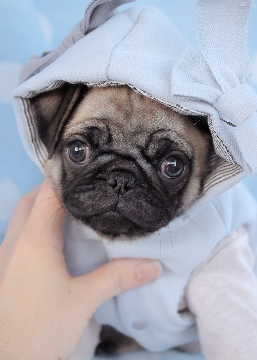 Pug Puppies For Sale In Miami Fort Lauderdale Fl