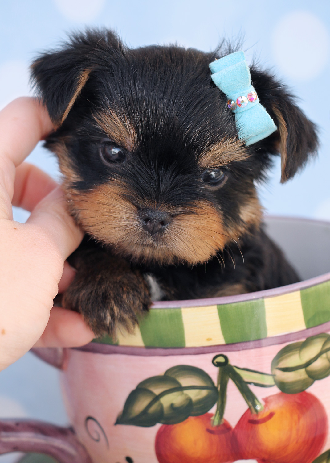 Chocolate Yorkie Puppies at TeaCups Puppies | Teacups ...