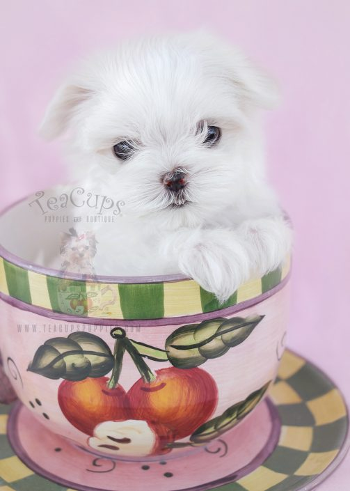 Tiny Teacup Maltese Puppy For Sale