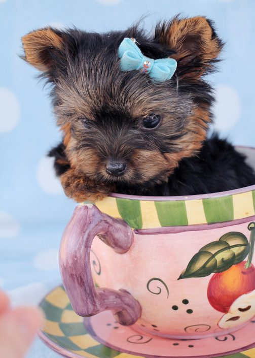 Yorkshire Terrier Puppy ID #386