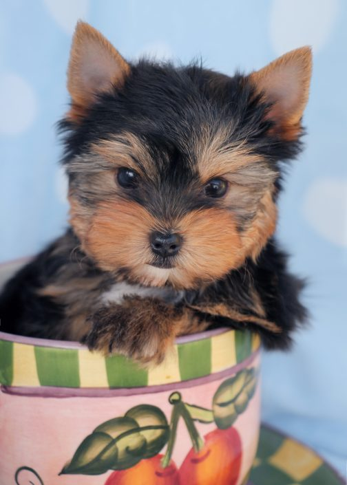 Yorkie Puppy #408 For Sale