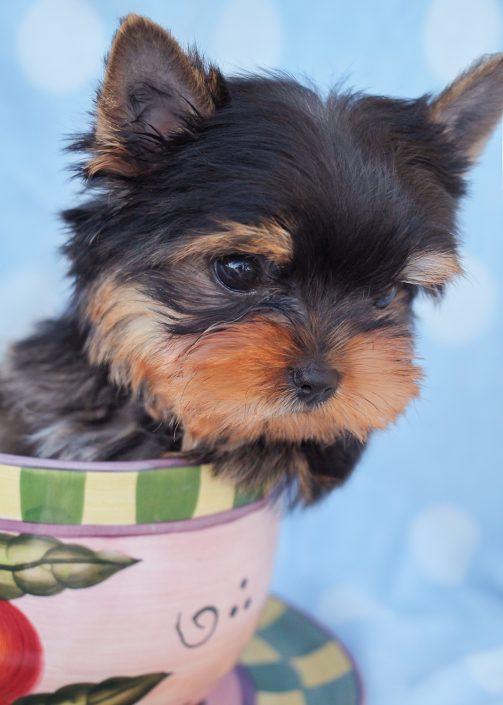 Yorkie Puppy #407