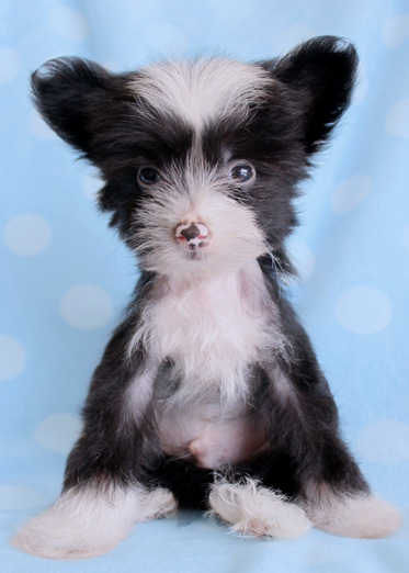 Hairless Chinese Crested Puppy
