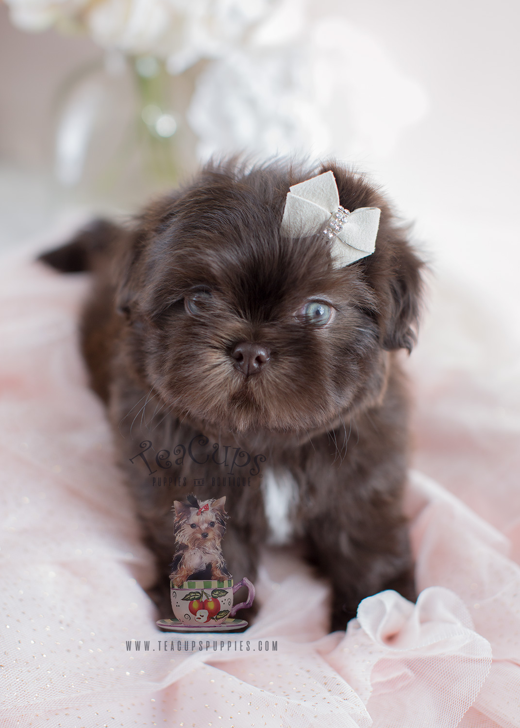 Adorable Little Shih T...