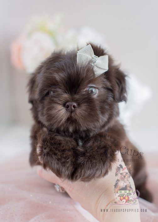 Chocolate Shih Tzu Puppy #010 For Sale