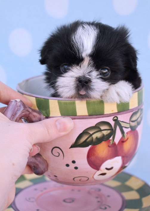 Tiny Teacup Imperial Shih Tzu Puppy