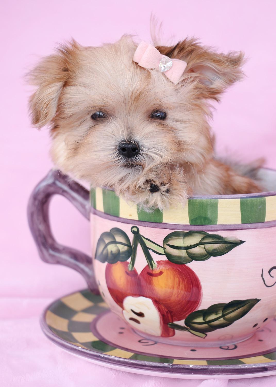 Morkie Puppy #002