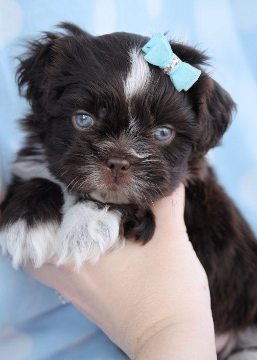 Shih Tzu Puppy #009