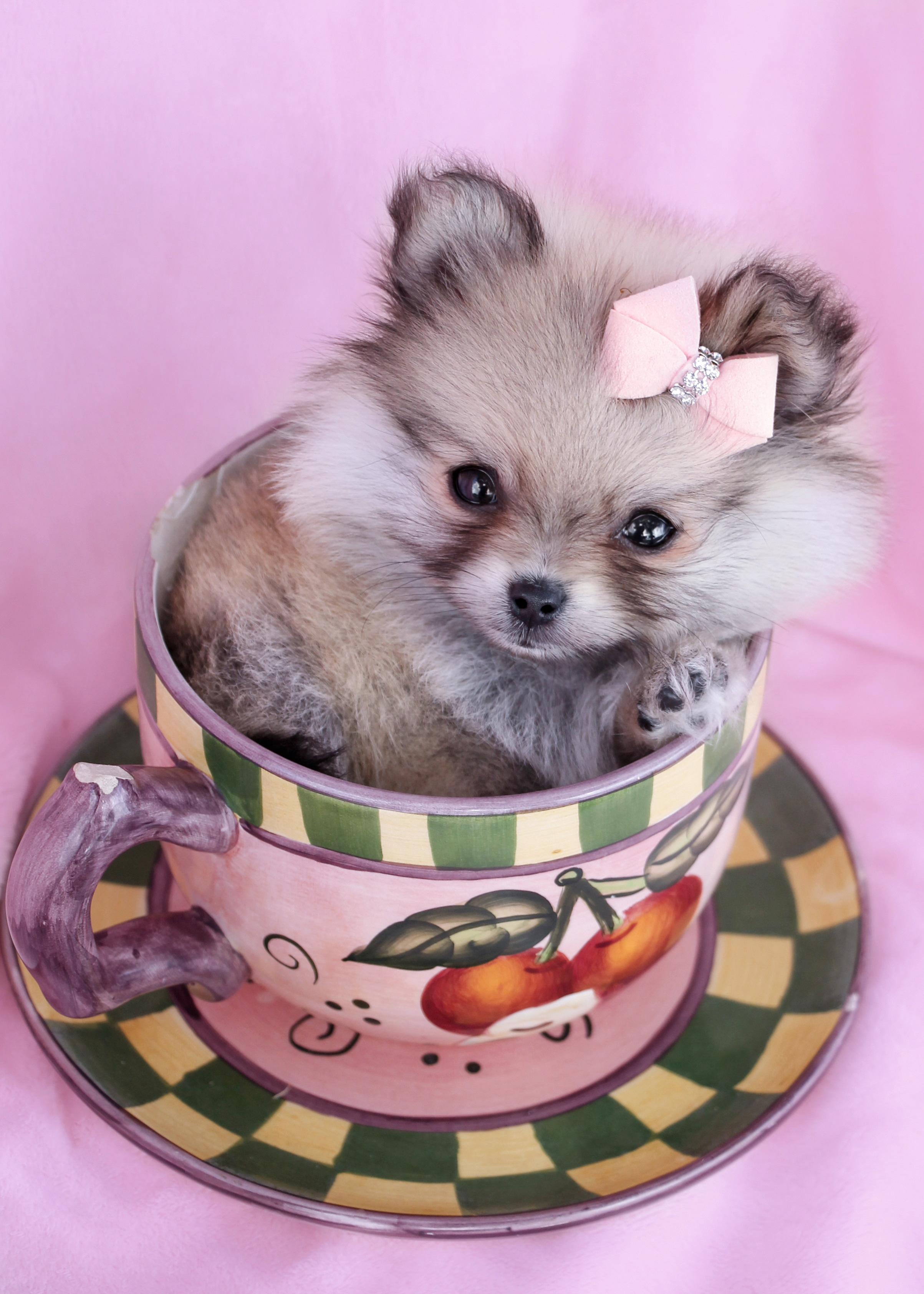 Teacup Pomeranian Puppy #021 For Sale