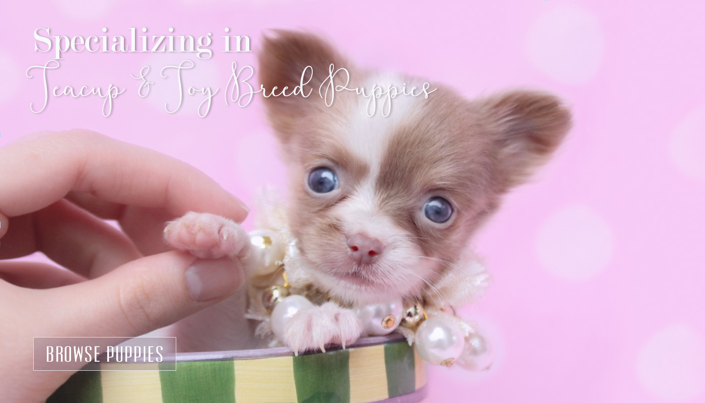 Tiny Teacup Long Haired Chihuahua For Sale