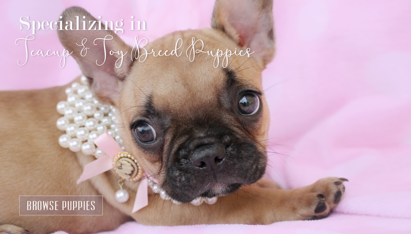 French Bulldog by TeaCups, Puppies and Boutique