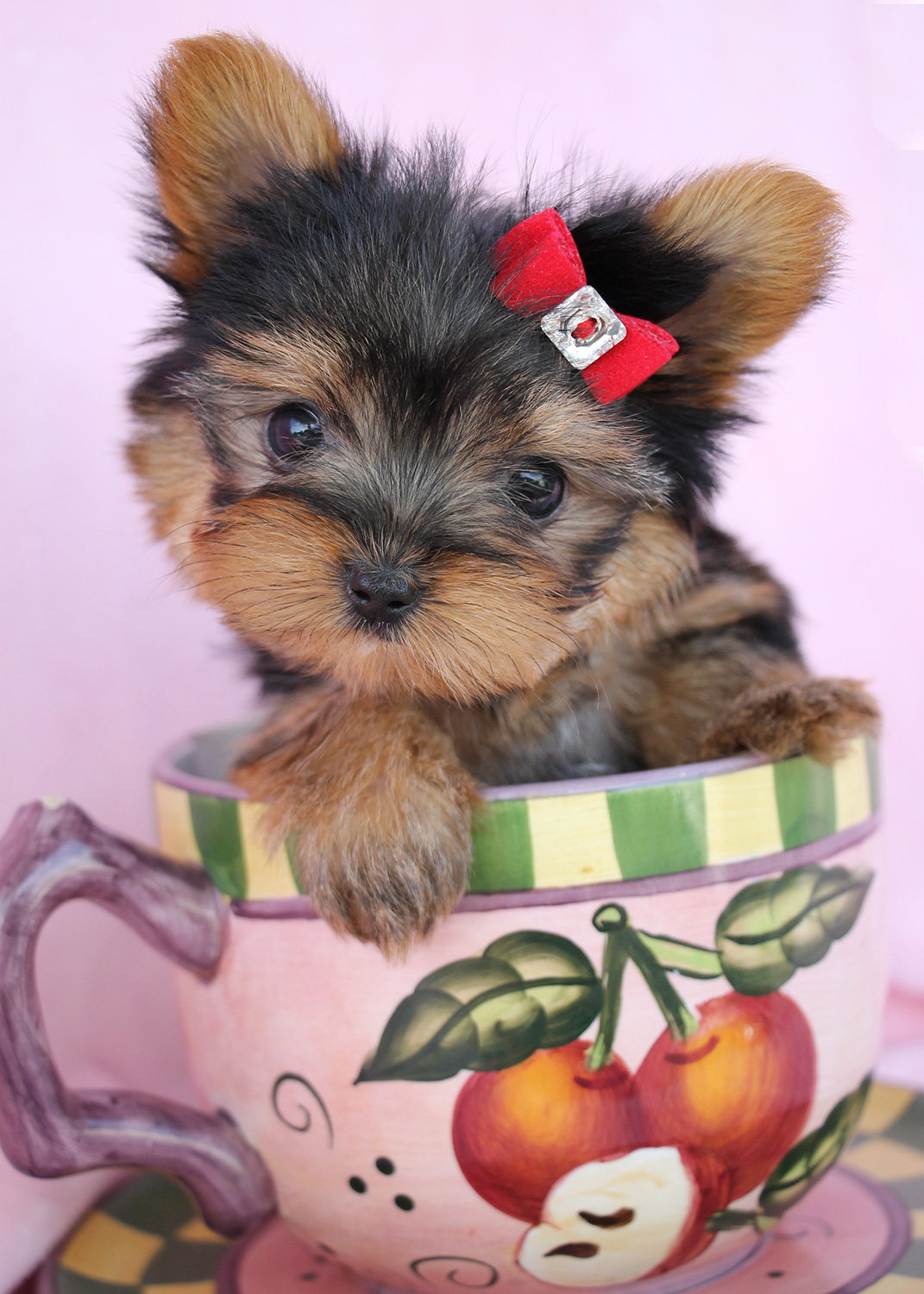 Yorkie teacup puppies