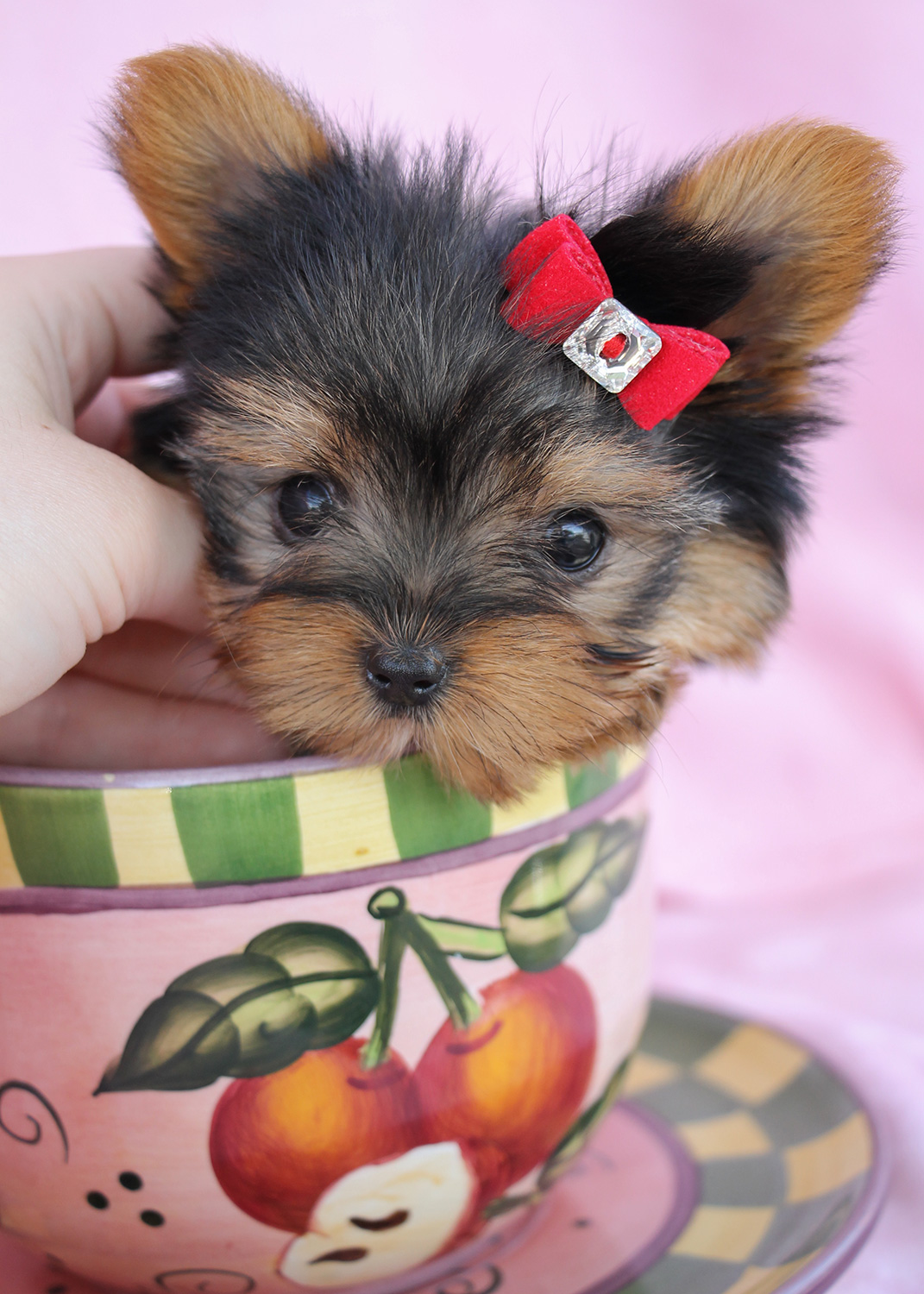 "Delightful Teacup Yorkshire ""Yorkie"" Terrier Puppies for ..."
