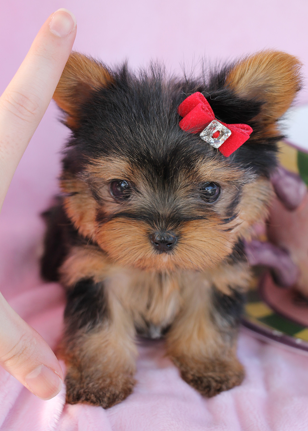 """Delightful Teacup Yorkshire """"Yorkie"""" Terrier Puppies for ..."""