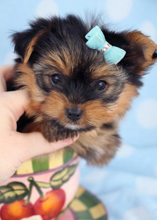 Yorkie Puppy #007