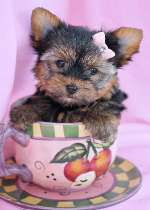 Yorkie Puppy #008