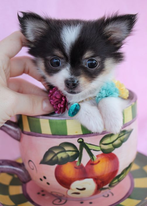 Chihuahua Puppy #027 For Sale