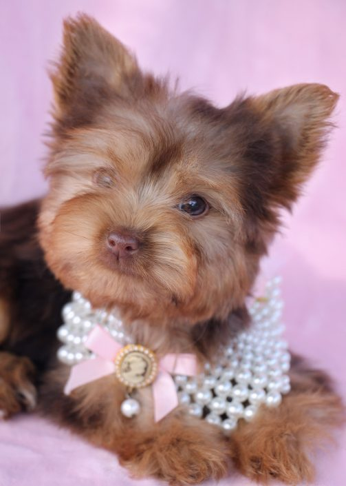 Chocolate Yorkie Puppy For Sale #036