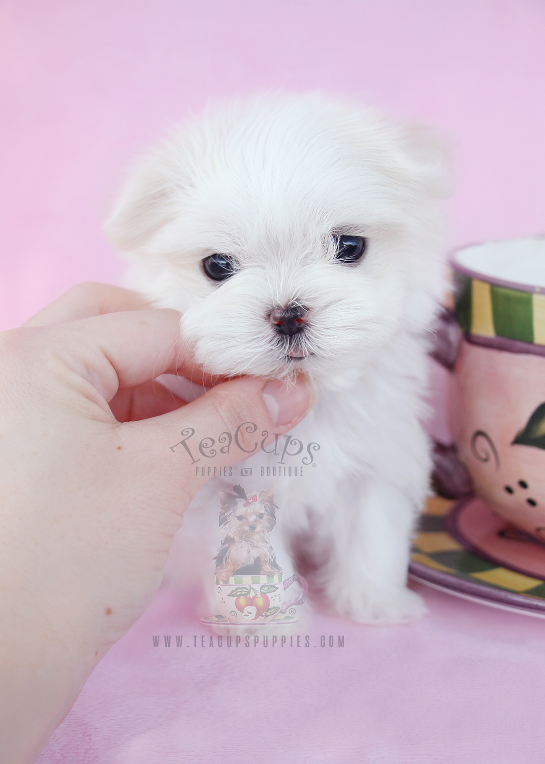 Micro Teacup Maltese Puppy #038