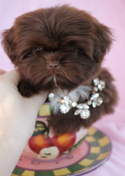 Shih Tzu Puppy #028 For Sale