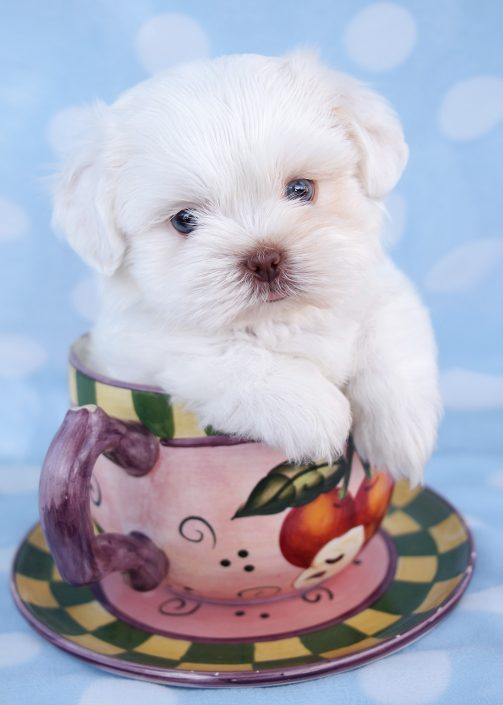 Shih Tzu Puppy #029 For Sale
