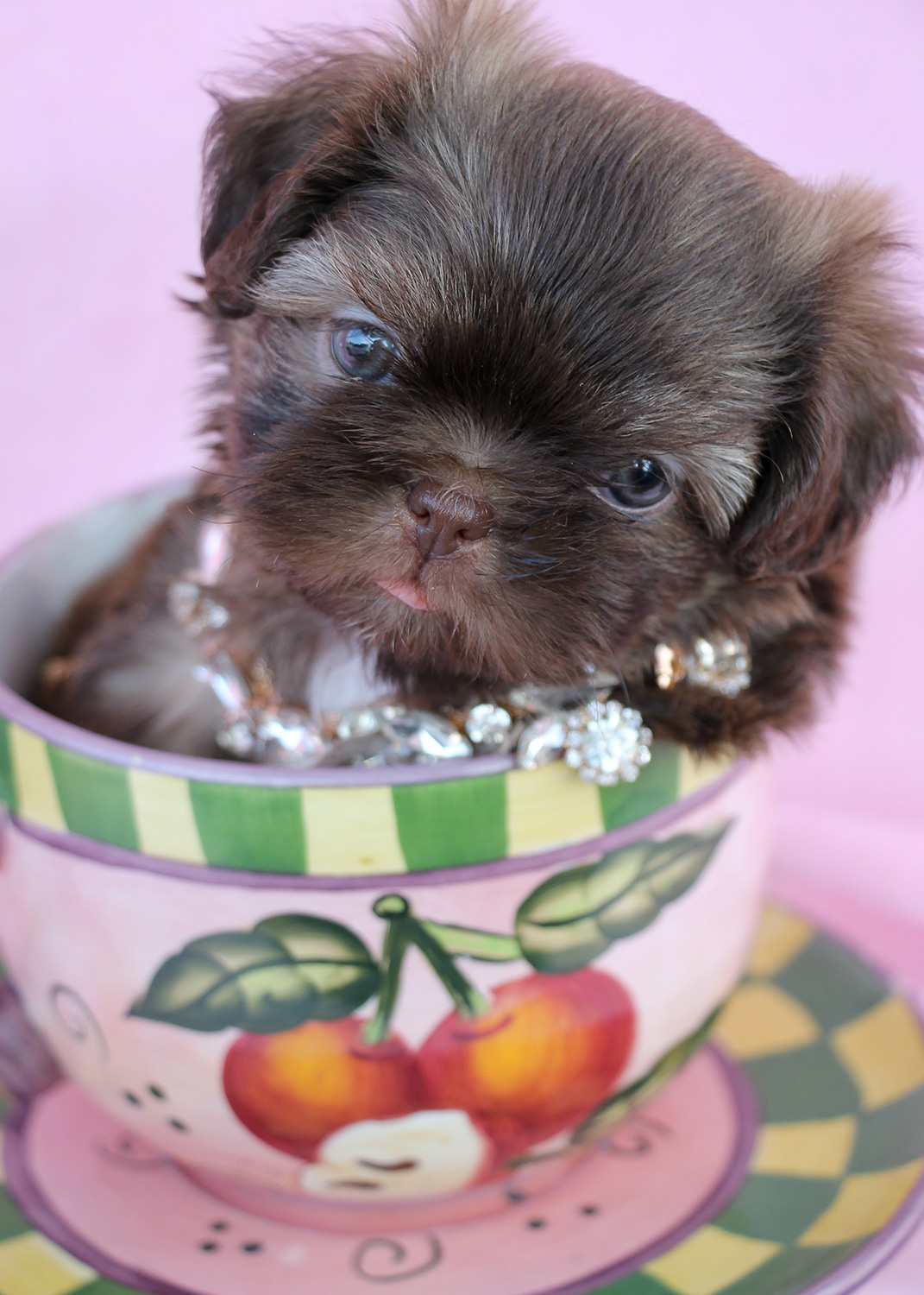 Shih Tzu Puppy #031 For Sale