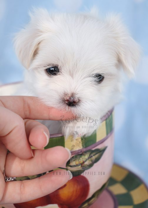 Teacup Maltese Puppy For Sale #040