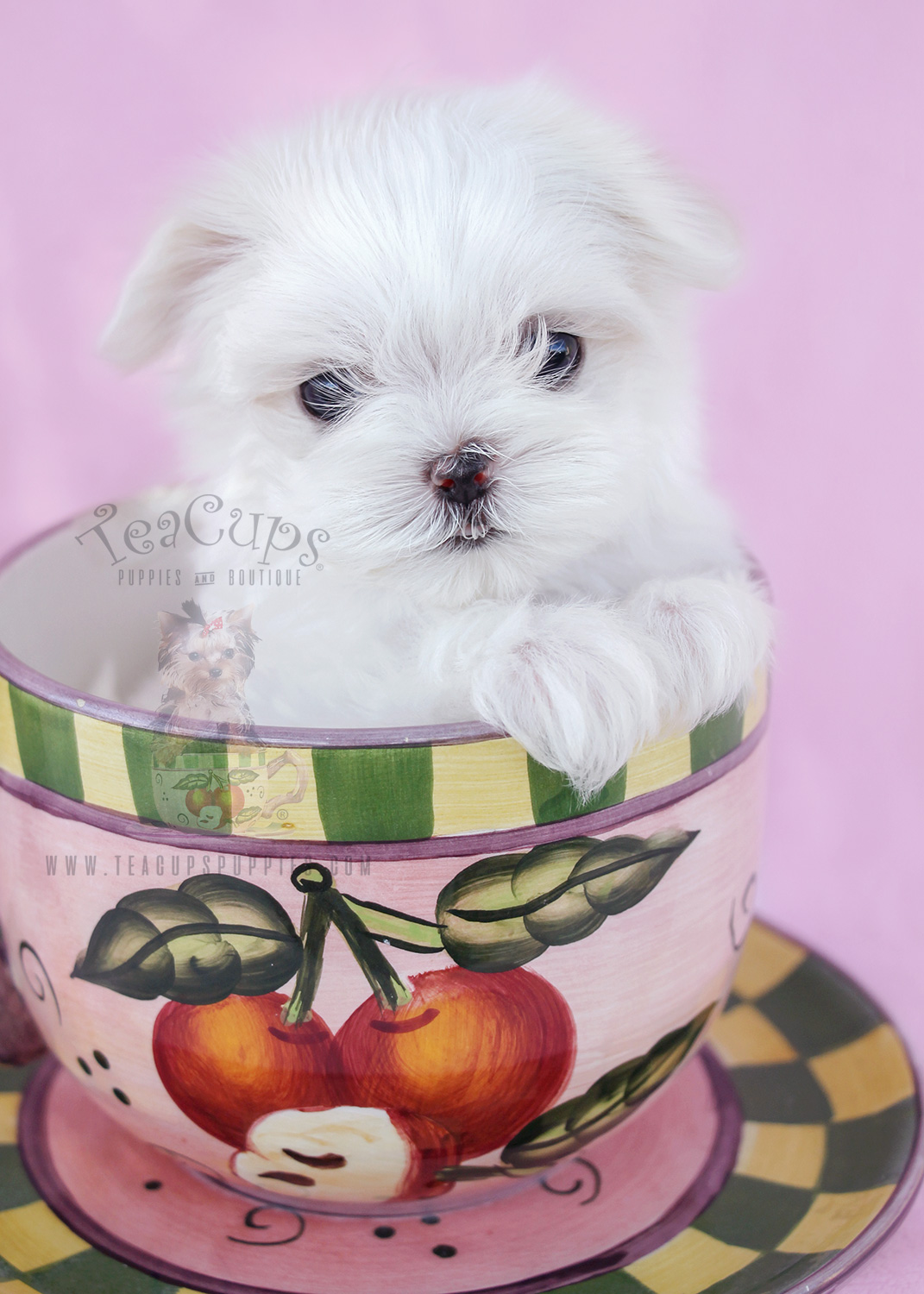 Tiny Teacup Maltese Puppy For Sale #038