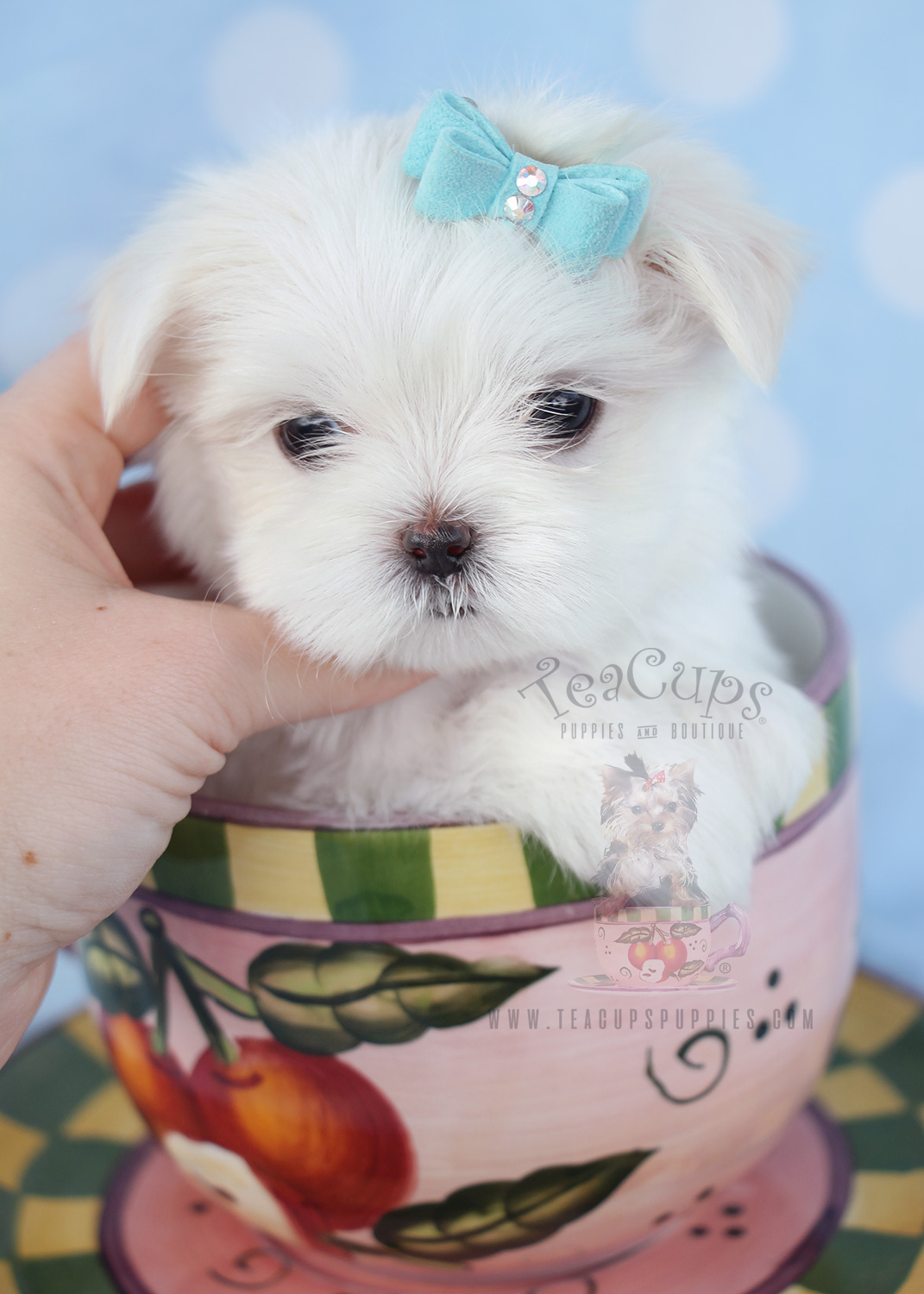 Teacup Maltese Puppy #039 For Sale
