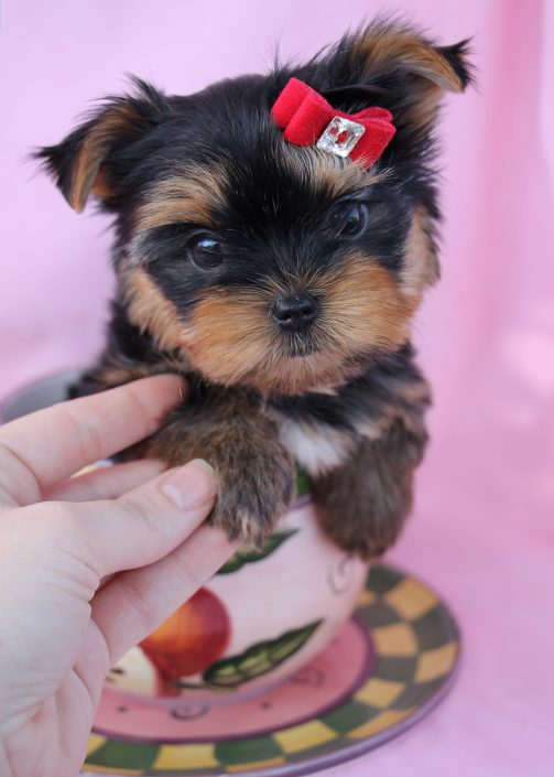 Toy Yorkie Puppy #025 For Sale