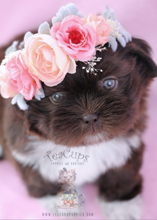 Chocolate Shih Tzu Puppy For Sale #071