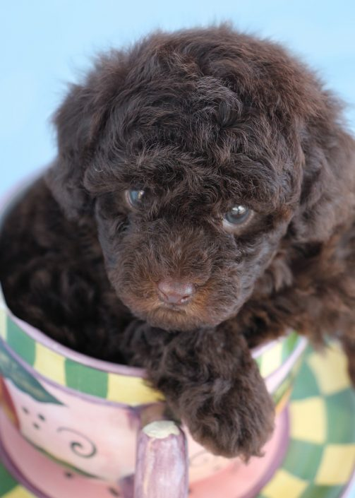 Chocolate Toy Poodle Puppy For Sale #068