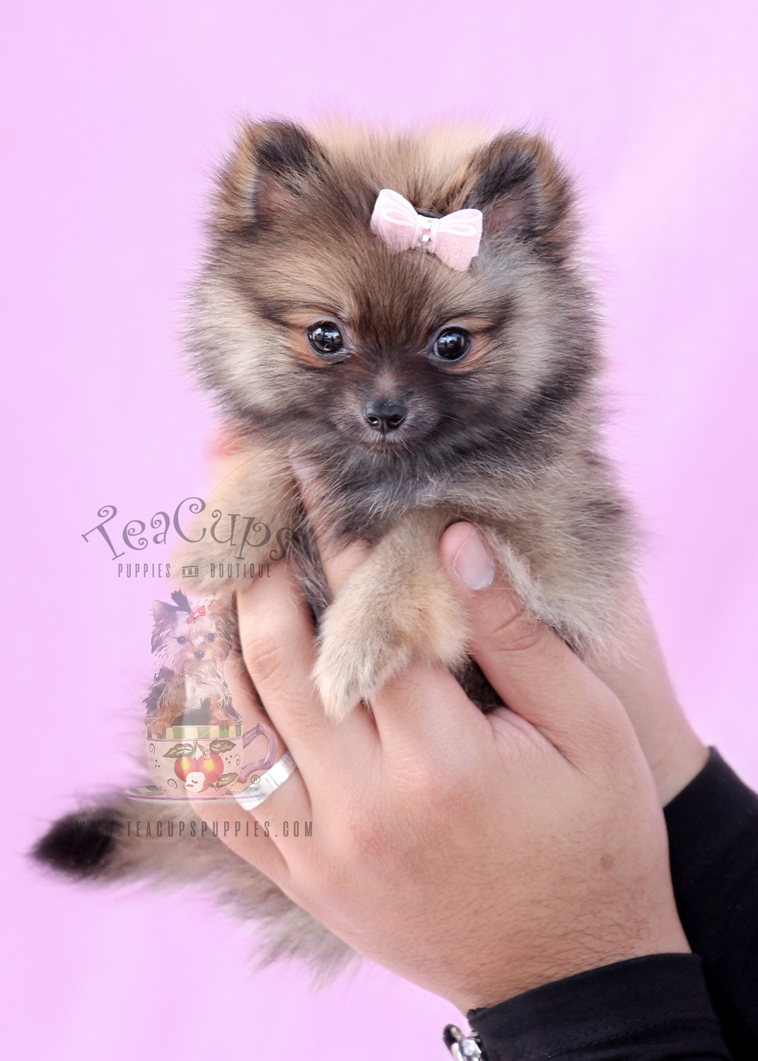 Pomeranian Puppy For Sale #065