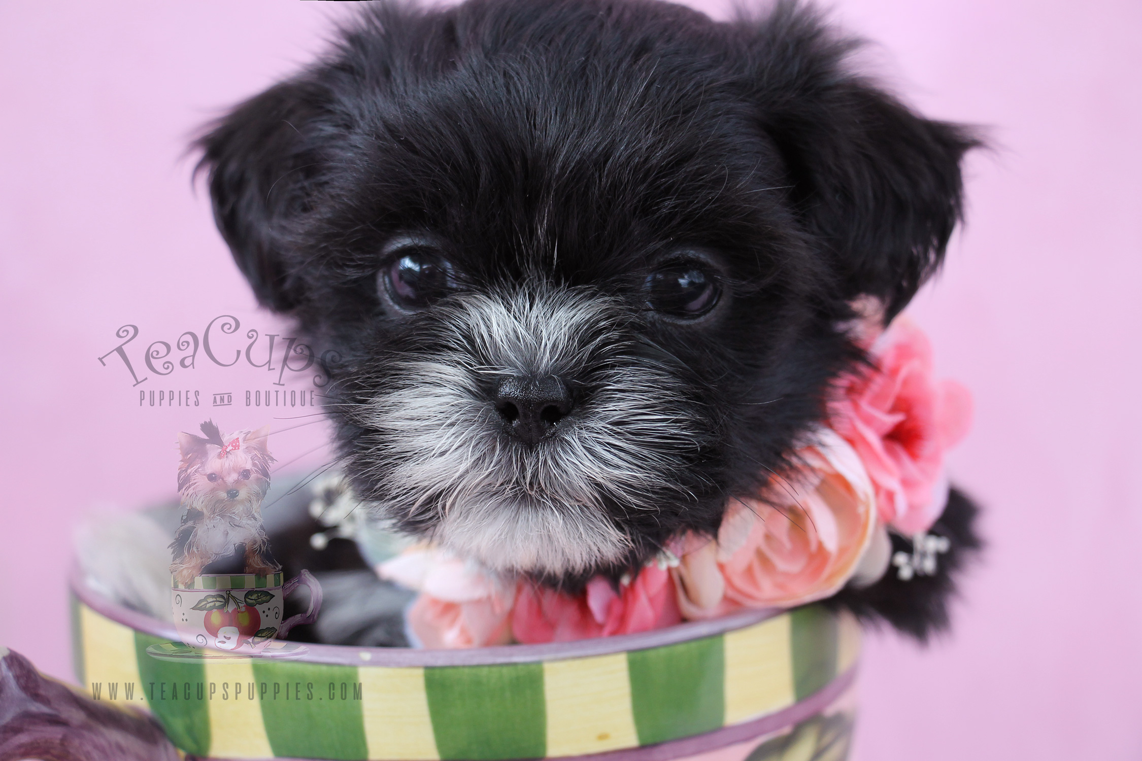 Shih Tzu Puppy For Sale #069