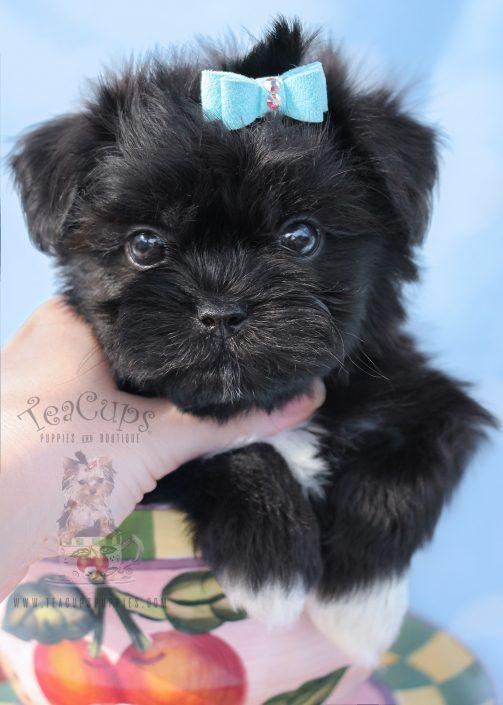 Shih Tzu Puppy For Sale #070