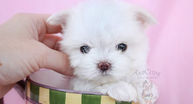 New Teacup Maltese Puppy Arrival at TeaCups, Puppies and Boutique