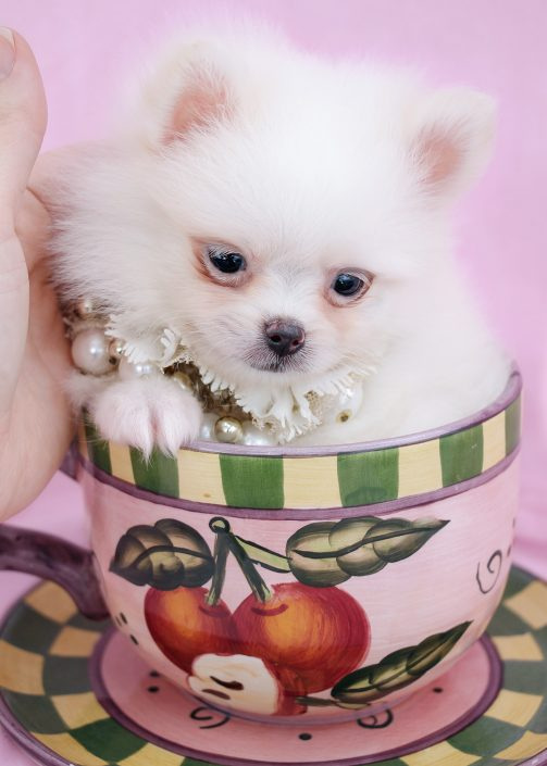 Tiny Pomeranian Puppy #059 For Sale