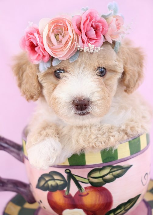 Toy Poodle Puppy For Sale #074