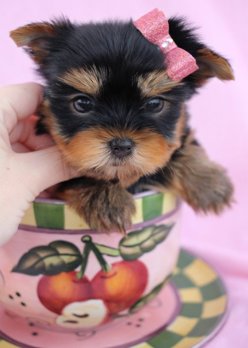 Yorkie Puppy #055 For Sale