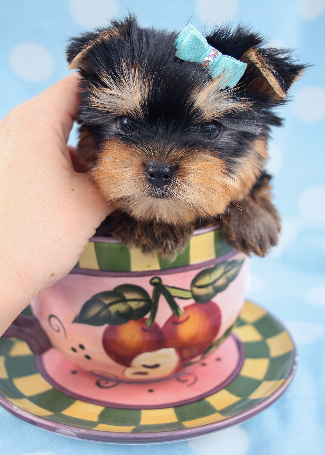 Yorkie Puppy For Sale by TeaCups