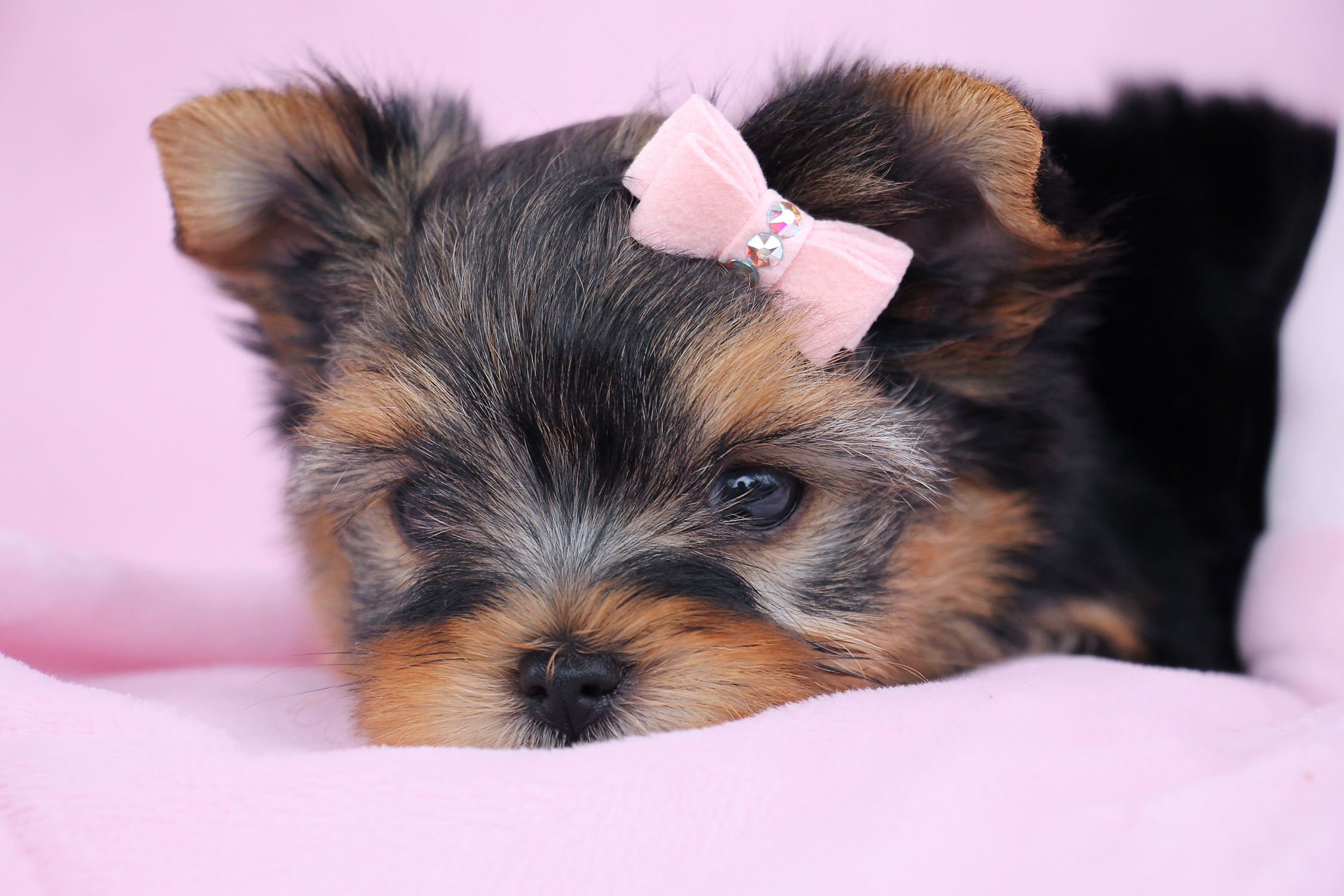 Yorkie Puppy For Sale #056