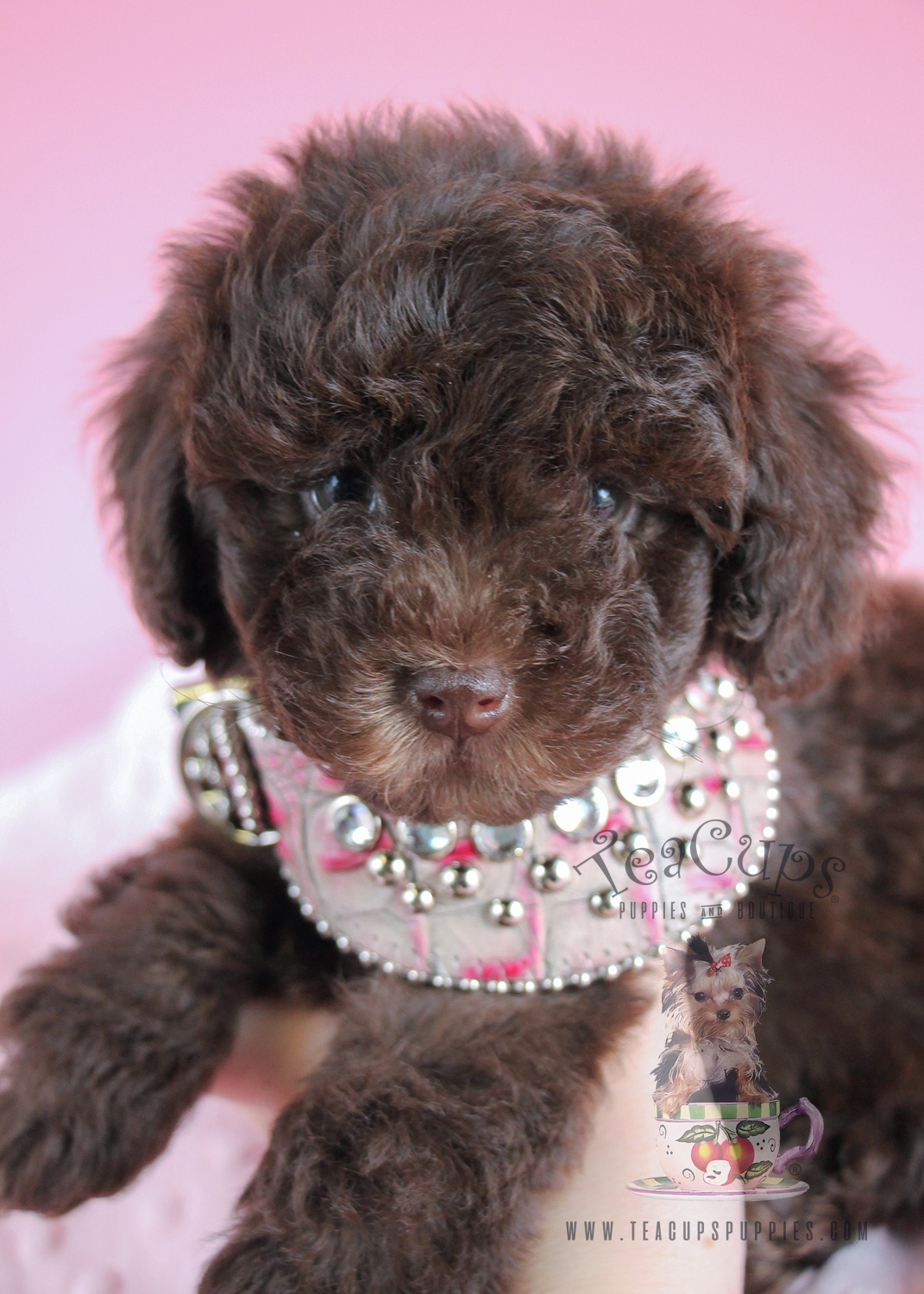Adorable Female Toy Chocolate Poodle
