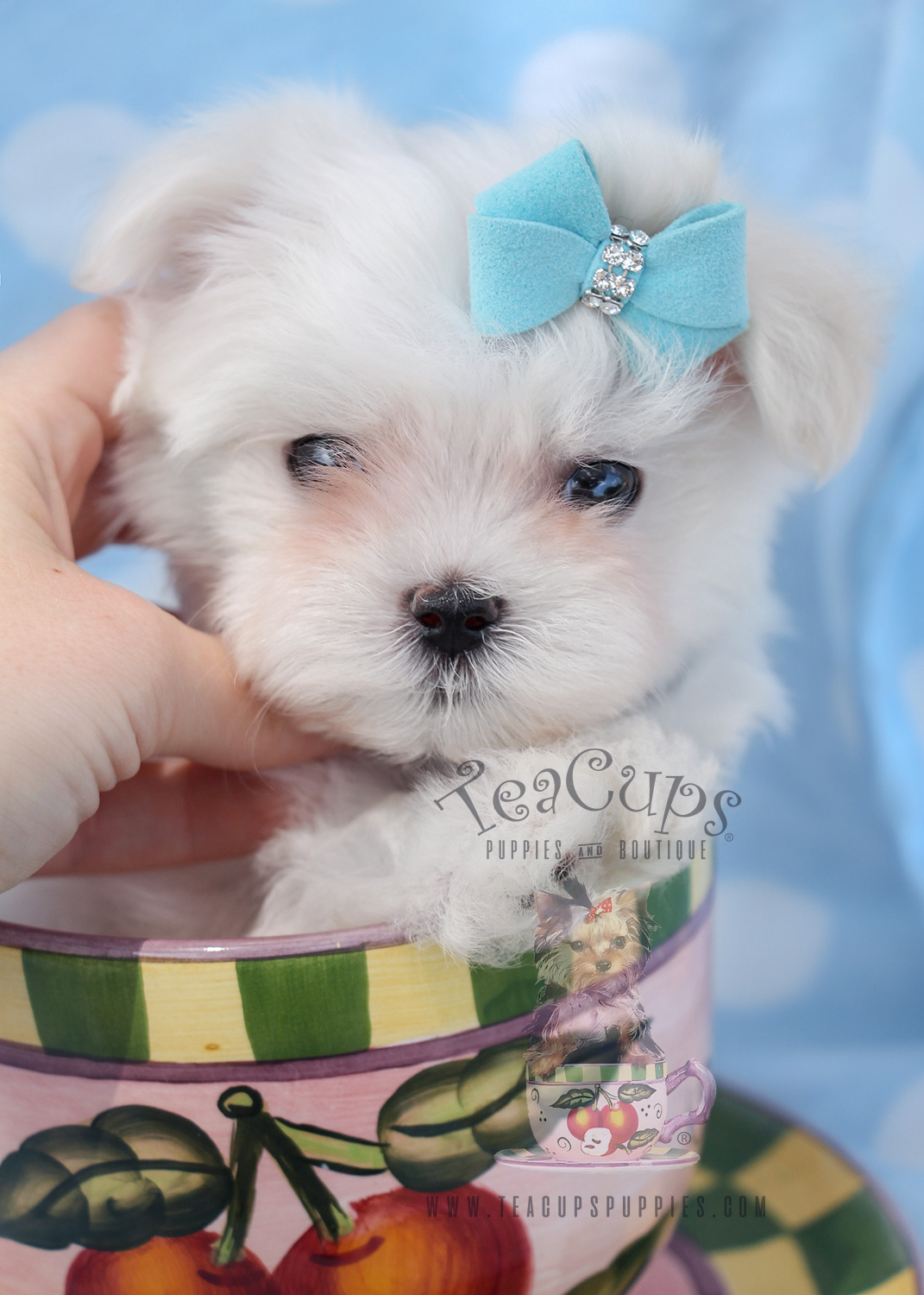 Male Maltese Puppies for Sale in South Florida
