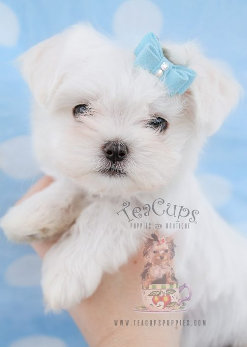 Toy Maltese Puppies For Sale