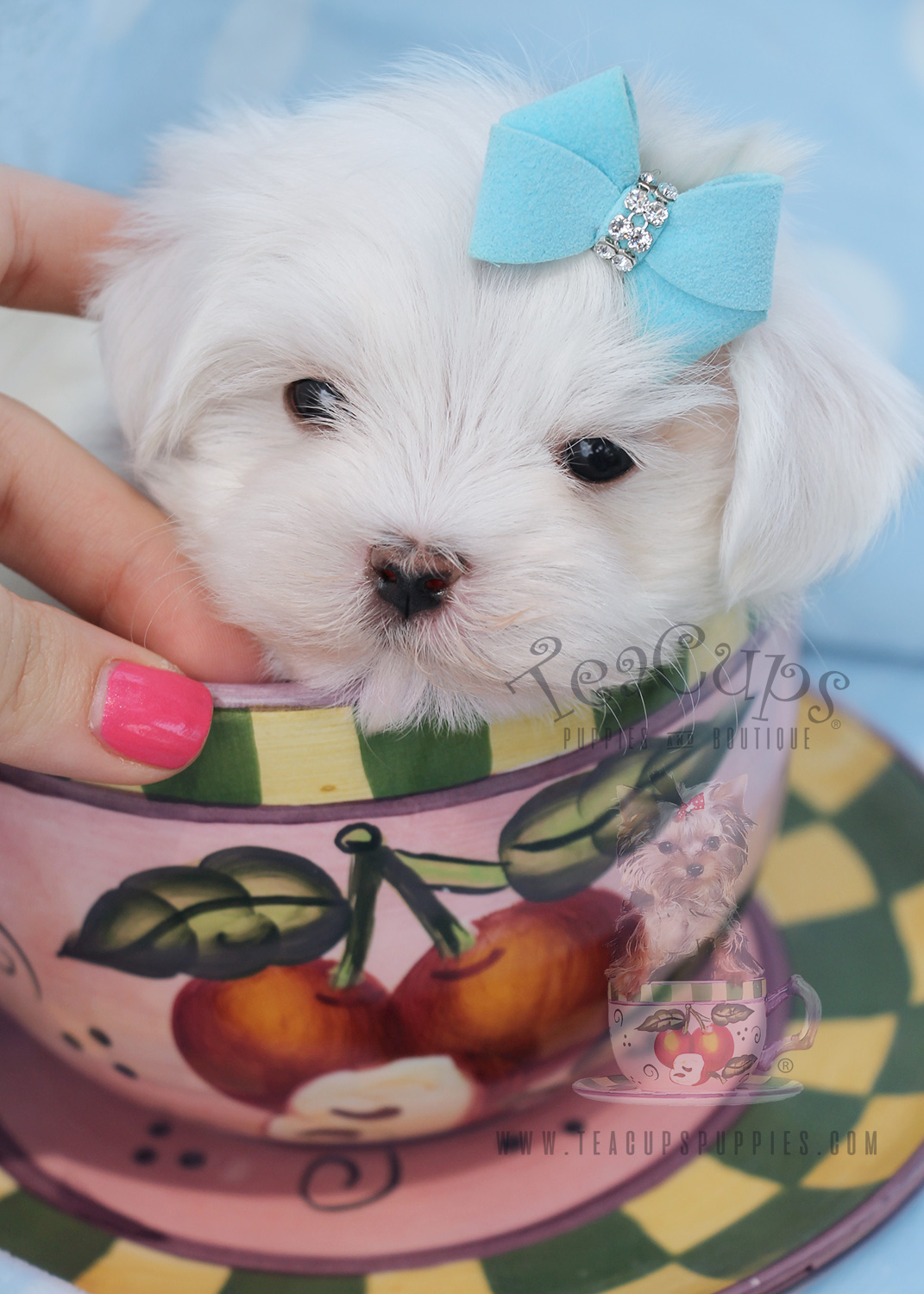 Maltese Puppy For Sale South FL