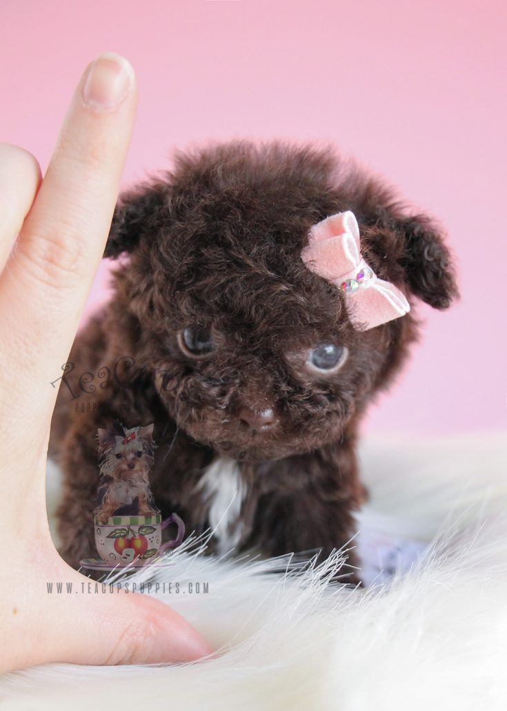 Adorable Micro Teacup Chocolate Poodle Puppy
